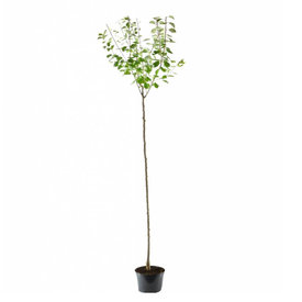 Fleur.nl - Prunus domestica 'Mirabelle de Nancy' - hoogstam