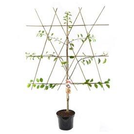 Fleur.nl - Prunus domestica 'Mirabelle de Nancy' - laagstam leivorm
