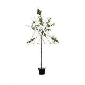 Fleur.nl - Prunus domestica 'Mirabelle de Nancy' - halfstam leivorm