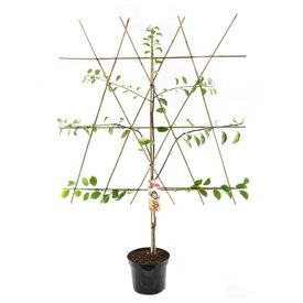 Fleur.nl - Prunus domestica 'Opal' - laagstam leivorm