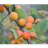 Prunus armeniaca 'Bergeron' Abrikoos
