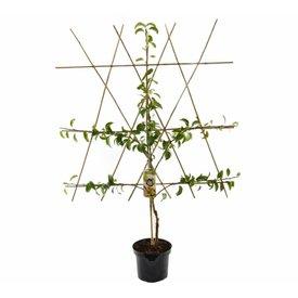 Fleur.nl - Prunus armeniaca 'Bergeron' halfstam leivorm