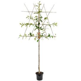 Fleur.nl - Prunus armeniaca 'Bergeron' hoogstam leivorm