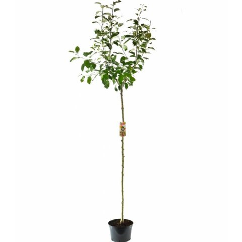 Malus domestica 'Ecolette' - hoogstam