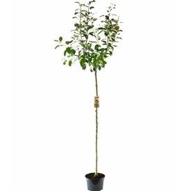Fleur.nl - Malus domestica 'Santana' - hoogstam