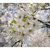 Prunus avium 'Early Rivers' Kers