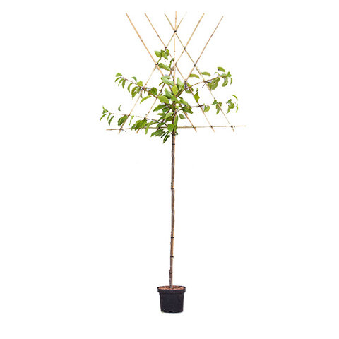 Prunus avium 'Early Rivers' - hoogstam leivorm
