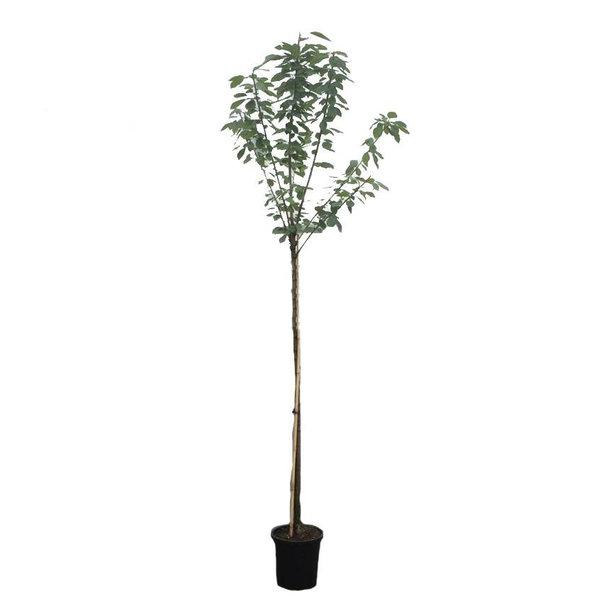 Prunus avium 'Bigarreau Burlat' Kers