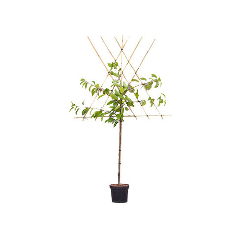 Prunus avium 'Bigarreau Burlat' - halfstam leivorm