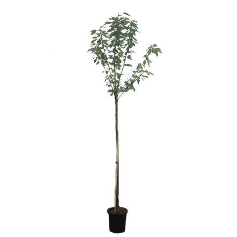 Prunus avium 'Bigarreau Burlat' - hoogstam leivorm