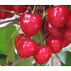 Prunus avium 'Hedelfinger' Kers