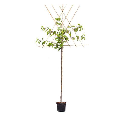 Prunus avium 'Hedelfinger' - hoogstam leivorm
