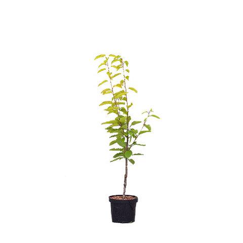 Prunus avium 'Varikse Zwarte' - laagstam