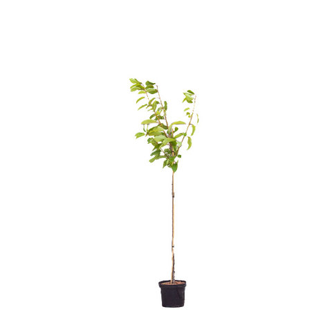 Prunus avium 'Varikse Zwarte' - halfstam