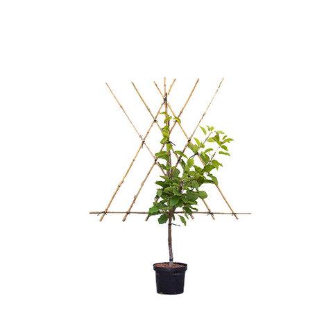 Prunus avium 'Varikse Zwarte' - laagstam leivorm