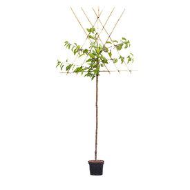 Fleur.nl - Prunus avium 'Varikse Zwarte' - hoogstam leivorm