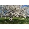 Prunus avium 'Stella' Kers