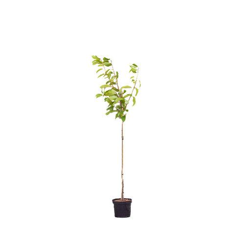 Prunus avium 'Stella' - halfstam
