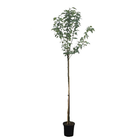 Prunus avium 'Stella' - hoogstam