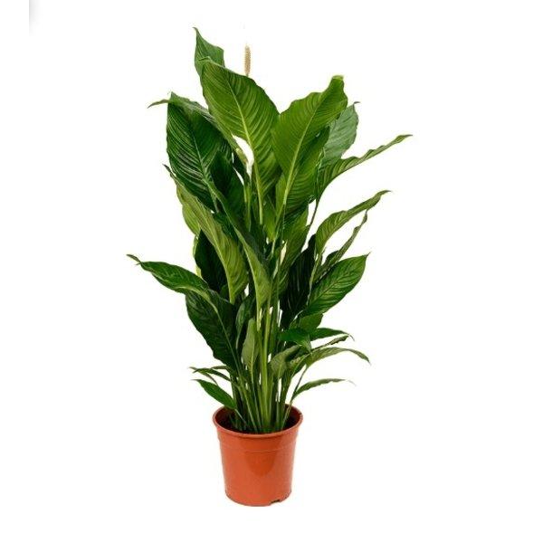 Spathiphyllum Lepelplant Sebastian