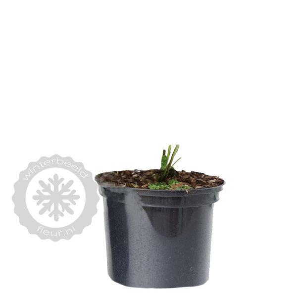Brunnera macrophylla 'Hadspen Cream' vergeet-mij-nietje