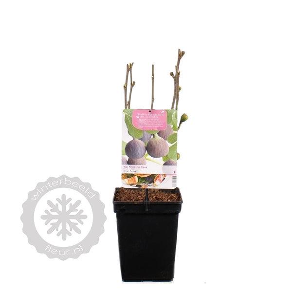 Ficus carica 'Brown Turkey' Vijgenboom