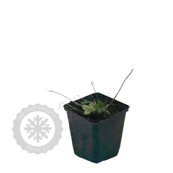 Geranium oxonianum 'Claridge Druce'