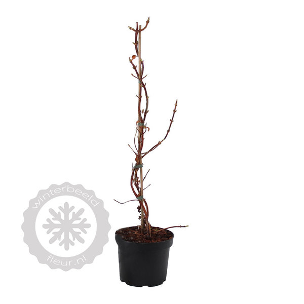 Hydrangea anomala petiolaris Klimhortensia