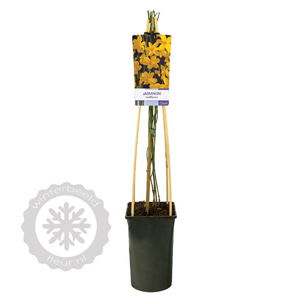 Jasminum nudiflorum Winterjasmijn