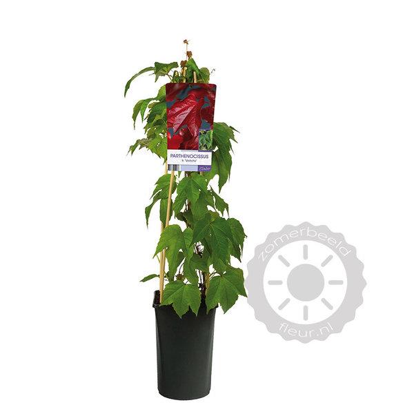 Parthenocissus tricuspidata 'Veitchii' Wilde Wingerd