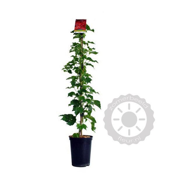 Parthenocissus tricuspidata 'Veitchii Robusta' Wilde Wingerd