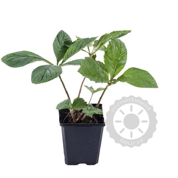 Rodgersia sambucifolia Schout bij Nacht