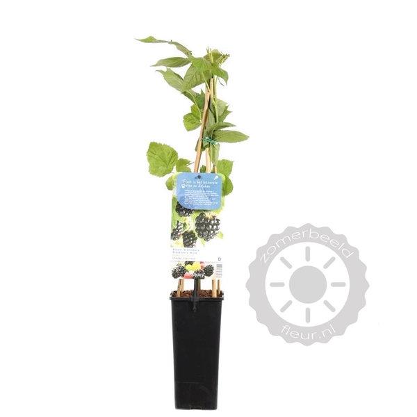 Rubus fruticosus 'Chester Thornless' Braam
