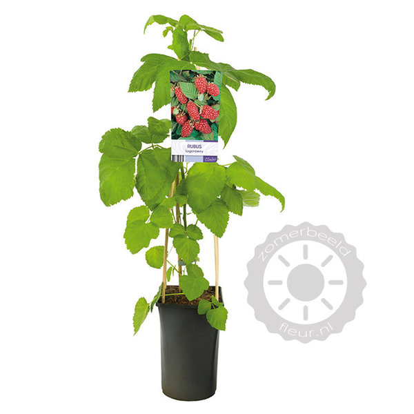 Rubus 'Loganberry' Frambraam
