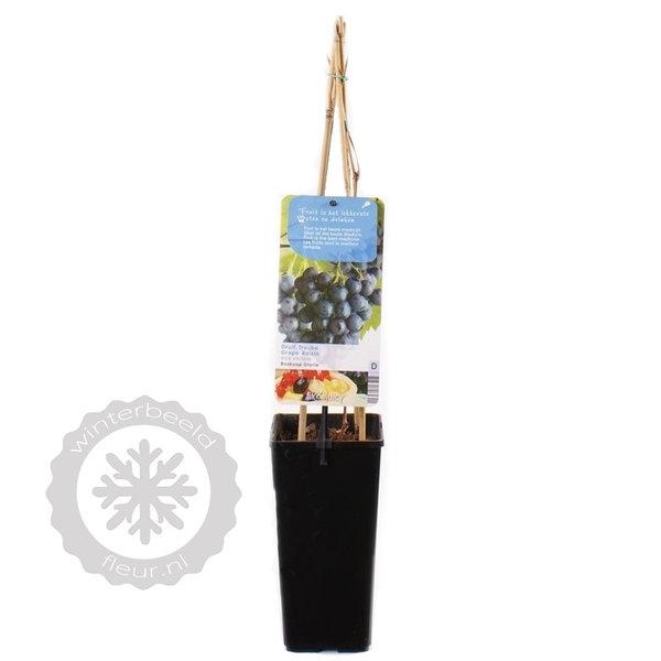 Vitis vinifera 'Boskoop Glory' Blauwe druif