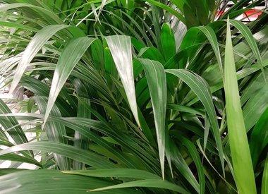 Verzorging van Kentia Palm