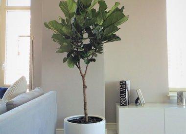 Verzorging van Ficus Lyrata