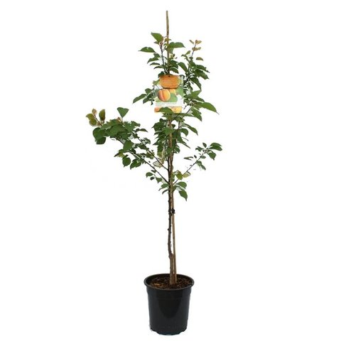 Prunus armeniaca 'Tros Oranje' laagstam