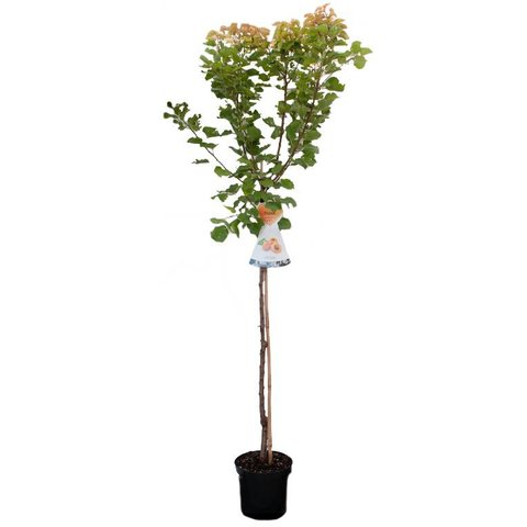 Prunus armeniaca 'Tros Oranje' hoogstam