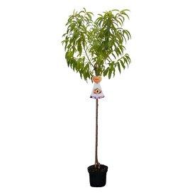 Fleur.nl - Prunus persica 'Mme Blanchet' - laagstam