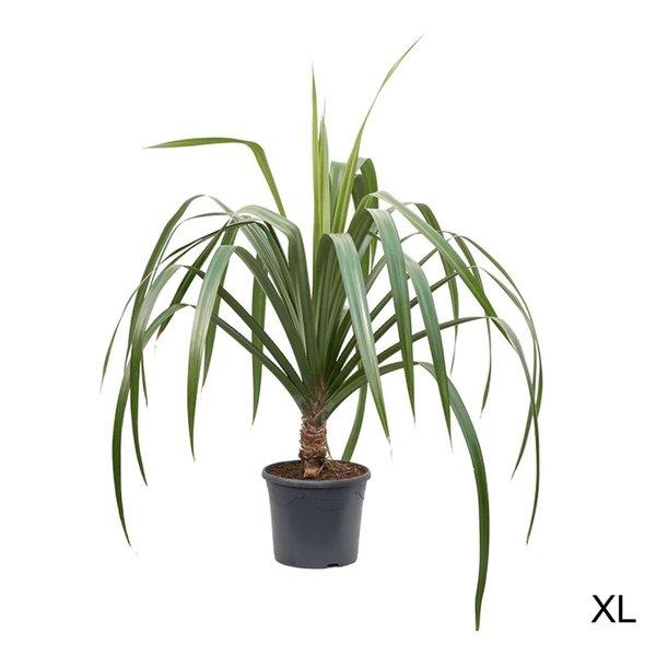 Pandanus Utilis kamerplant
