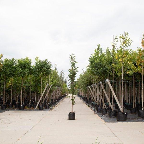 Prunus serrulata 'Amanogawa' Japanse sierkers