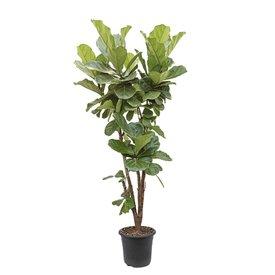 Fleur.nl - Ficus Lyrata vertakt XL