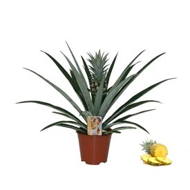 Fleur.nl - Ananasplant
