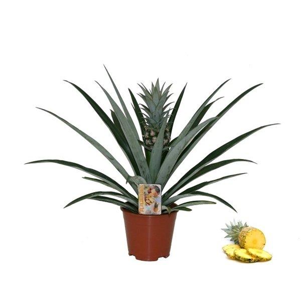 Ananas Bromelia Corona