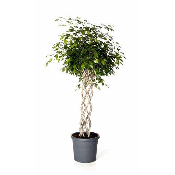 Ficus Exotica Benjamina gevlochten mat Large