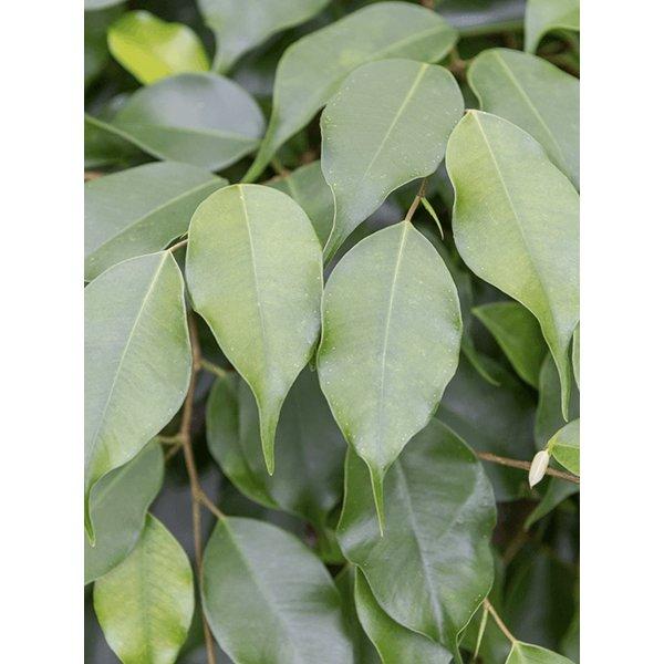 Ficus Exotica Benjamina gevlochten XL