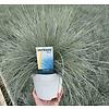 Festuca glauca  'Intense Blue' XL