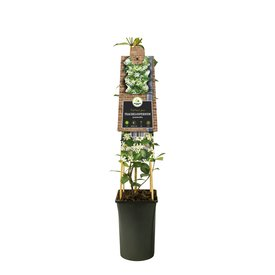 Fleur.nl - Trachelospermum  'Italiaanse Jasmijn'