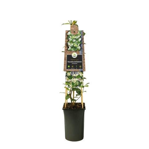 Trachelospermum  'Italiaanse Jasmijn'